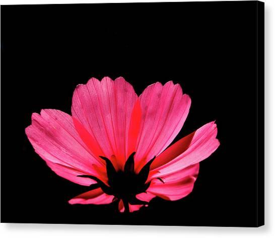 Cosmos Bloom Canvas Print