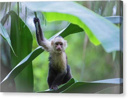 Costa Rica Monkeys 1 Canvas Print