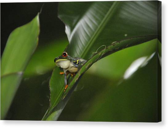 Costa Rica Red Eye Frog I Canvas Print