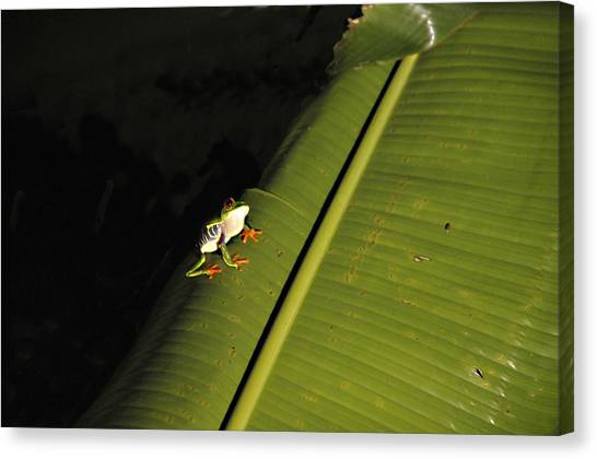 Costa Rica Red Eye Frog II Canvas Print