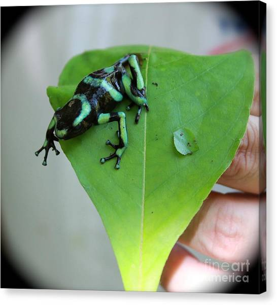 Costa Rican Poison Dart Frog Canvas Print