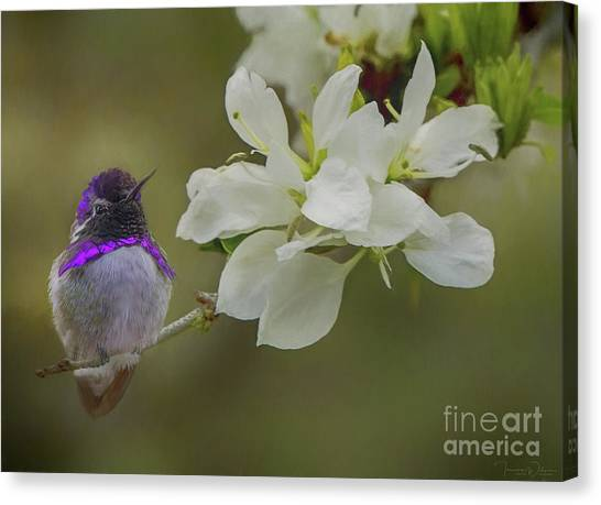 Costas Hummingbird On An Anacacho Orchid Branch Canvas Print