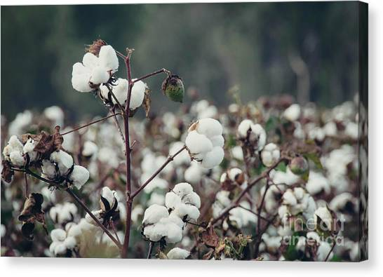 Cotton Field 5 Canvas Print