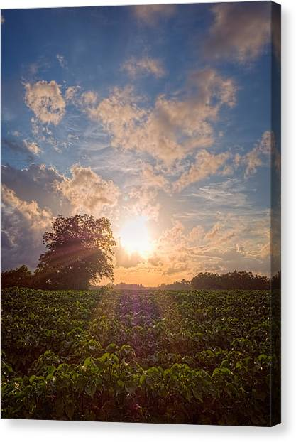 Cotton Field Sunset Canvas Print