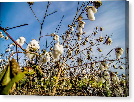 Australian flowers canvas prints page 15 of 26 fine art america australian flowers canvas print cotton fields white with ripe cotton ready for harvesting by alex mightylinksfo