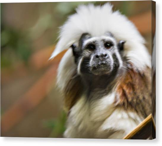 Cotton-top Tamarin _ 1a Canvas Print