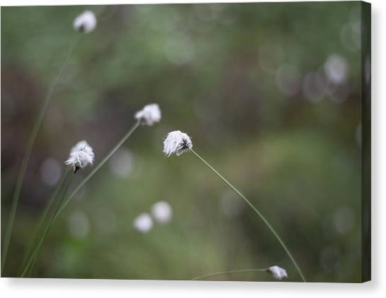 Canvas Print - Cottongrass by Jo Jackson