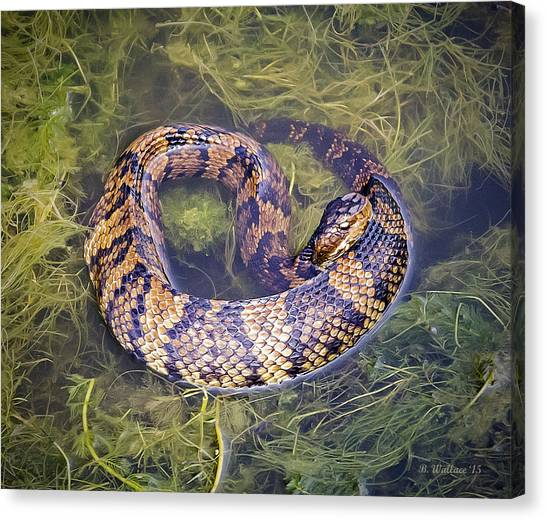 Swamp Rattlers Canvas Print - Cottonmouth by Brian Wallace