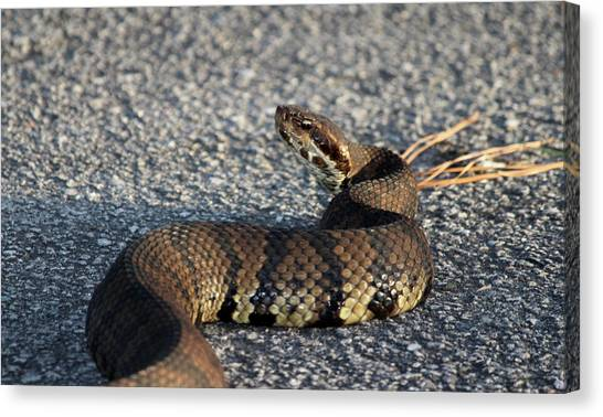 Cottonmouths Canvas Print - Cottonmouth Stare by Cynthia Guinn