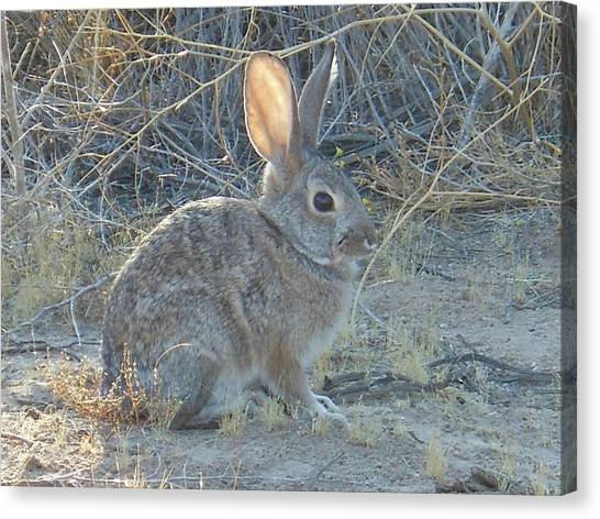 Cottontail Rabbit Morning Light Canvas Print