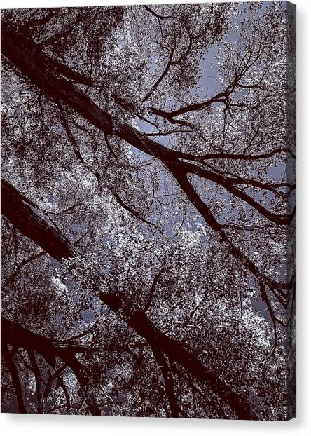 Cottonwood Energies Canvas Print