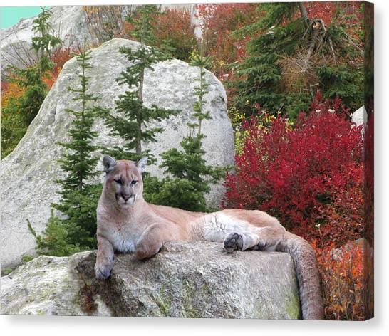 Cougar On Rock Canvas Print by Robert Bissett