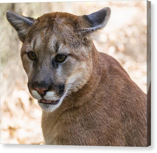 Cougar Portrait Canvas Print