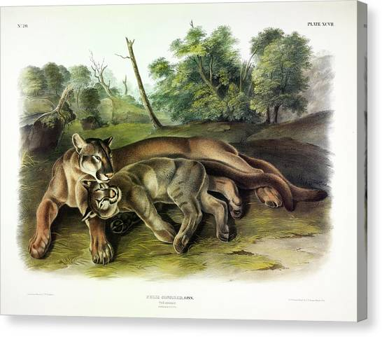 Florida Panthers Canvas Print - Cougars by John James Audubon