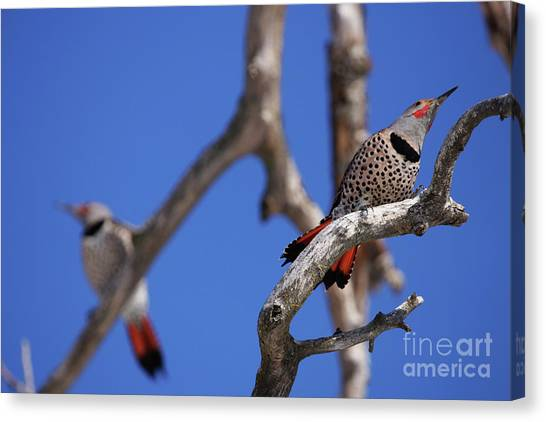 Courtship Canvas Print