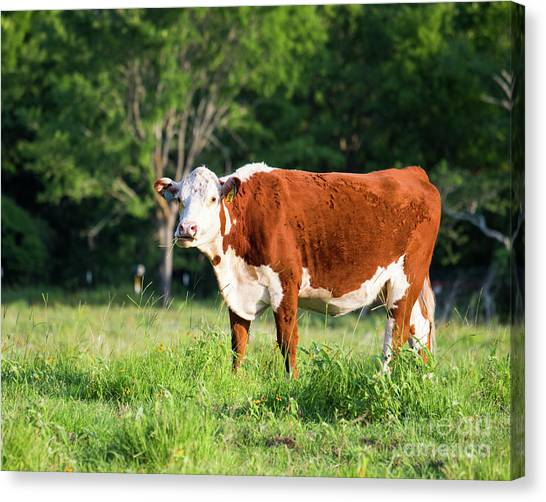 Cow #1 Canvas Print