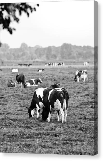Cow 188 Canvas Print