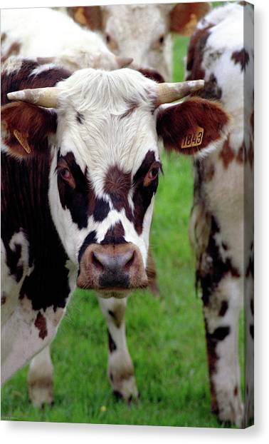 Cow Closeup Canvas Print