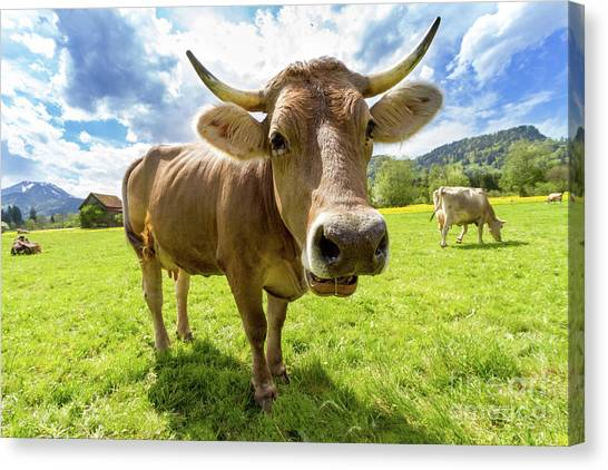 Cow Farms Canvas Print - Cow In Meadow by MGL Meiklejohn Graphics Licensing