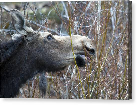 Cow Moose Dining On Willow Canvas Print