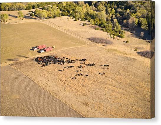 Cows And Trucks Canvas Print