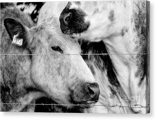 Canvas Print featuring the photograph Cows Behind Barbed Wire by Nick Biemans