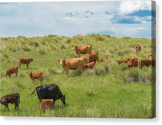 Cows In Field 3 Canvas Print
