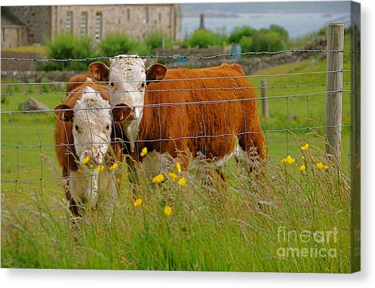 Cows In Iona Canvas Print by Louise Fahy