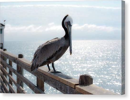 Coy Pelican Canvas Print