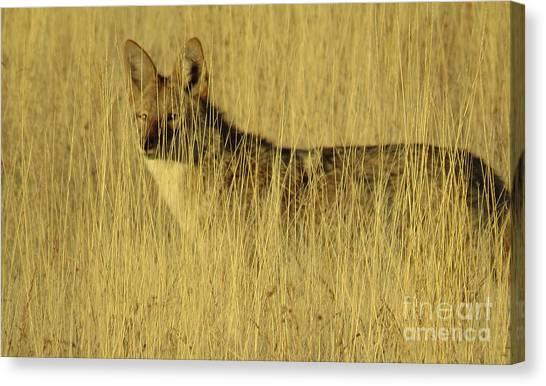 Coyote 4 Canvas Print