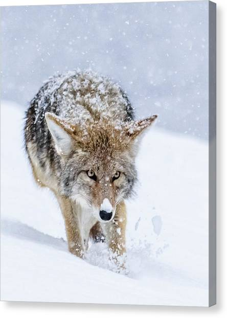 Coyote Coming Through Canvas Print