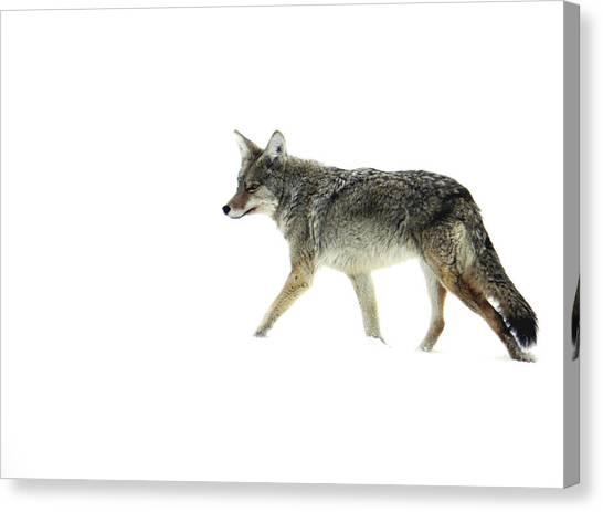 Coyote Crossing Canvas Print