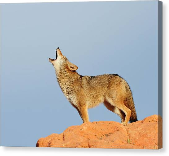 Coyote Howling Canvas Print by Dennis Hammer