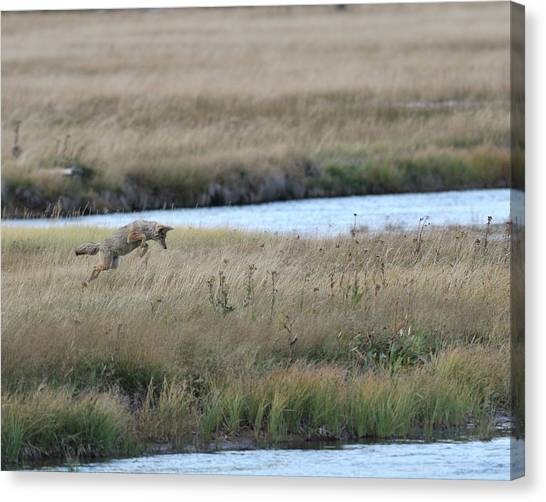 Coyote Hunting In Grass Canvas Print by Photo by James Keith
