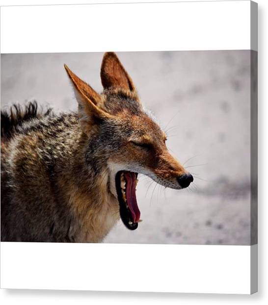 Scotty Canvas Print - Coyote In Death Valley #photography by Scotty Brown