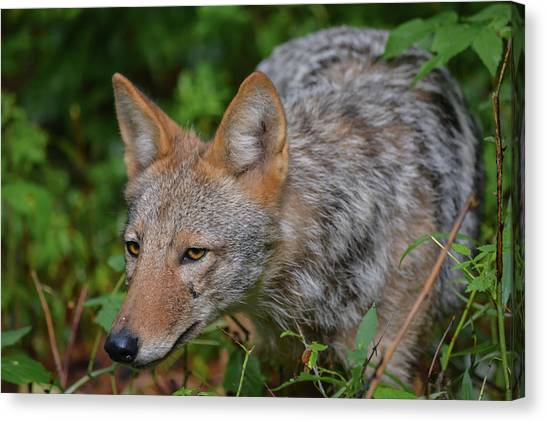 Coyote On The Hunt Canvas Print