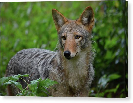 Coyote On The Prowl  Canvas Print