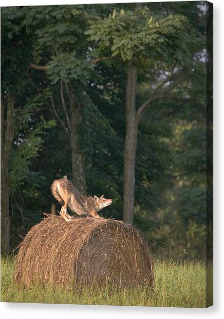 Coyote Stretching On Hay Bale Canvas Print