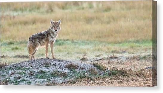 Coyotee Canvas Print
