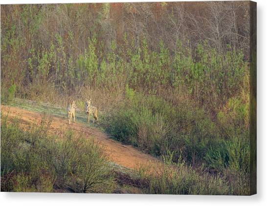 Coyotes In Morning Light Canvas Print