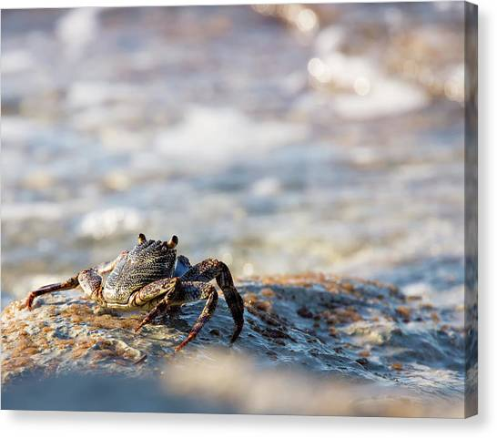Crab Looking For Food Canvas Print