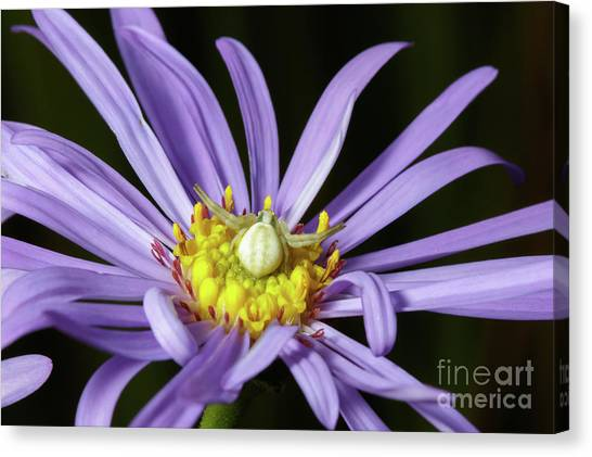 Crab Spider - Misumena Vatia - On Purple Aster Flower Canvas Print