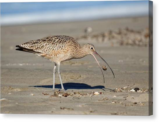 Crab Toss - Curlew Canvas Print