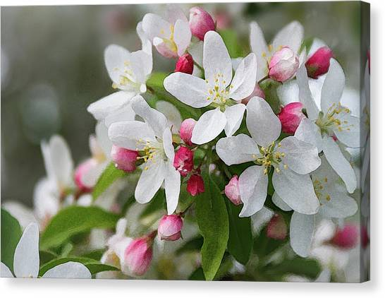 Crabapple Blossoms 12 - Canvas Print