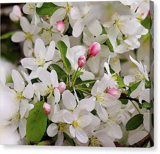 Crabapple Blossoms 5 Canvas Print