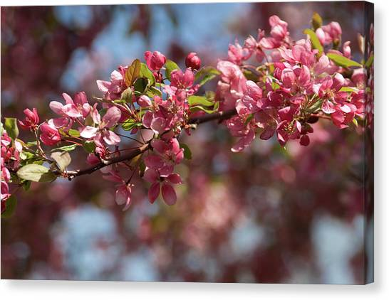 Crabapple In Spring Section 2 Of 4 Canvas Print