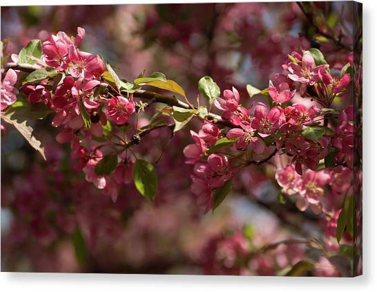 Crabapple In Spring Section 3 Of 4 Canvas Print
