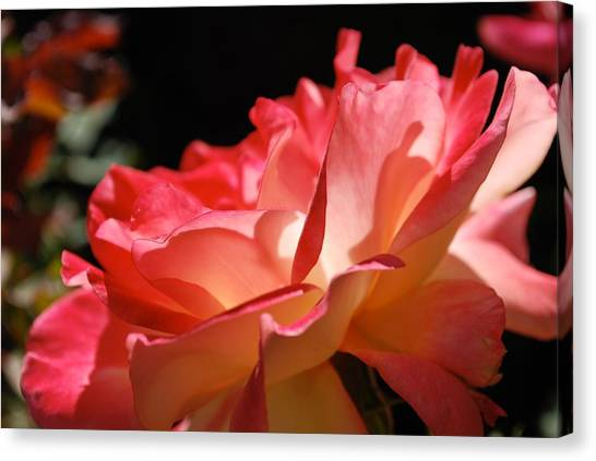 Cracklin' Rose Canvas Print