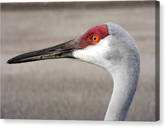 Crane Closeup Canvas Print