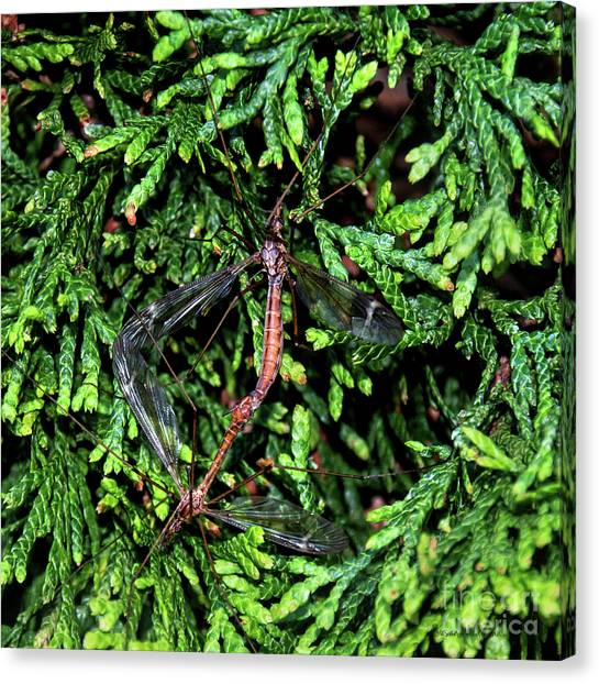 Crane Flies Caught In The Act Canvas Print